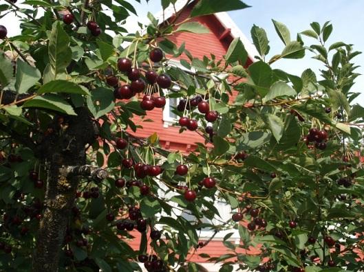 Mye bær å plukke, men det er et mål å bruke opp det som vokser i hagen.
